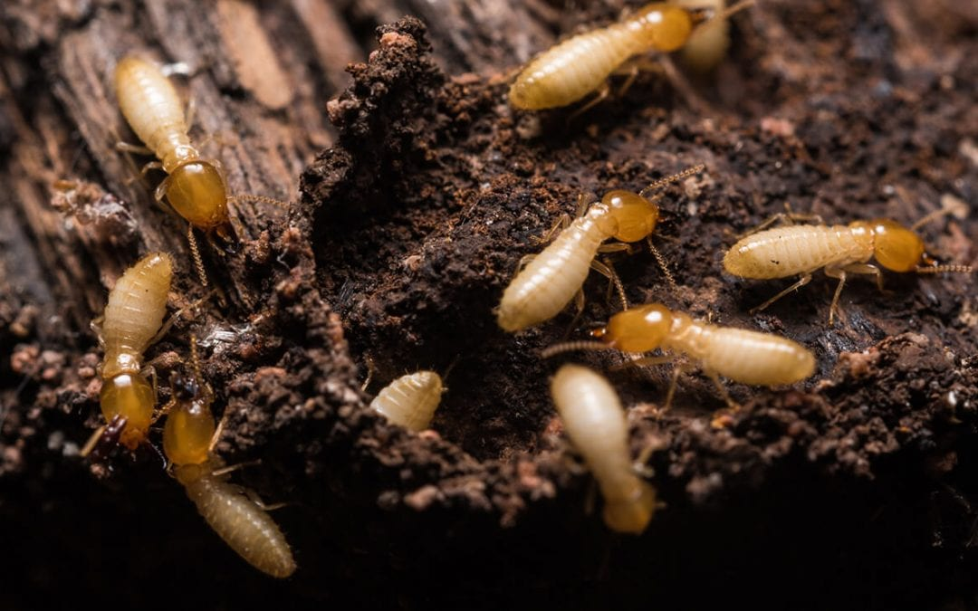 Follow These Natural Ways To Prevent Termites In Your House