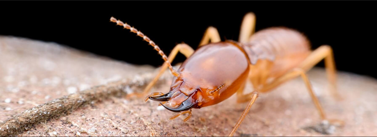 Signs of Termite to detect with Termite control Tweed Heads